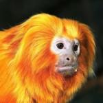 2016 – год какого животного? Красной Огненной Обезьяны