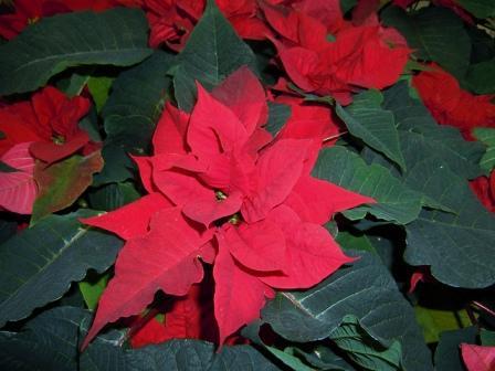 Цветок Рождественская звезда – уход