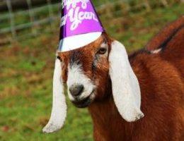 Как и в чем встречать новый год Козы Овцы фото