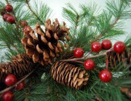 Елка или сосна – новогодний выбор, что лучше?