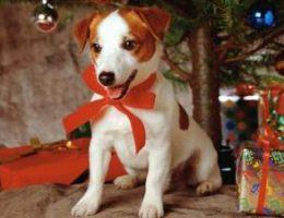Миниатюра к статье Опасный Новый год для домашних животных – собак и кошек