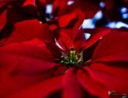 Цветок Рождественская звезда – как ухаживать